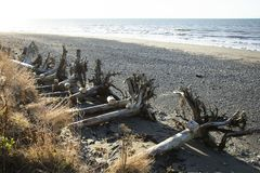 Rocky Beach with Pulled Up Trees royalty free stock photo