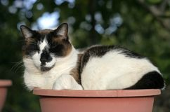 Rocky Cat. Brown and white cat sleeping in a planter royalty free stock photography
