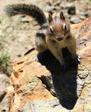 Rocky chipmunk. A closeup of a curious squirrel on the rock Stock Photography