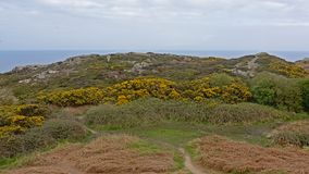 Cliffs with vegetation along the north sea coast of howth , ireland. Rocky cliffs along the north sea coast of howth, ireland with flowering gorse  bushes on a royalty free stock photos