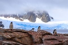 Rocky coastline with flock of gentoo pengins and rock with blue. Glacier  in the background at Peterman island, Antarctic peninsula