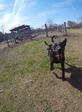 Rocky at the dog park Stock Photography