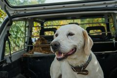Truffle dog in the Langhe. Rocky: dog for truffles research, La Morra - Italy royalty free stock images