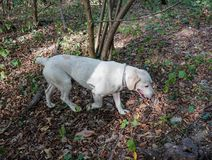 Truffle dog in the Langhe. Rocky: dog for truffles research, La Morra - Italy royalty free stock photography