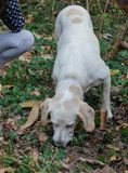 Truffle dog in the Langhe. Rocky: dog for truffles research, La Morra - Italy stock photo