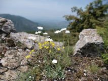 Rocky Flowers. Wild flowers growing in the rocky mountains royalty free stock images