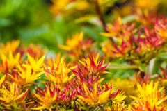 Rocky flowers. Very small flowers in garden - rock plant stock photos
