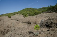 Rocky ground and forest of Canary Island pine Pinus canariensis. The Nublo Rural Park. Tejeda. Gran Canaria. Canary Islands. Spain stock photography