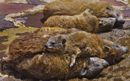 Rocky Hyrax family lounging in sun. Family of Rock Hyrax piled on top of one another, lounging in the sun, Serengeti National Park, Africa Royalty Free Stock Photo