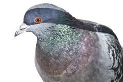 Rocky iridescent Dove with an orange eye close up. Isolated royalty free stock photo