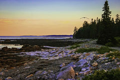 Rocky Maine Coast at Dusk. A rocky coast on Desert Island at sunset. trees and a bird flying in the background stock images