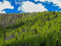 Rocky Mountain aspen and pine trees stock image