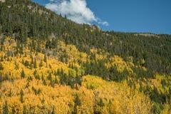 Rocky Mountain Aspens Stock Image