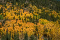 Rocky Mountain Aspens Royalty Free Stock Images