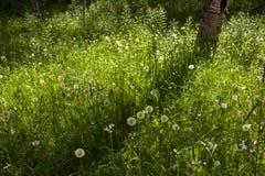 Rocky Mountain Beauty, Dandelion Forest, Telluride, Colorado Stock Image