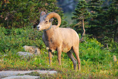 Rocky Mountain Big Horn Ram Royalty Free Stock Image