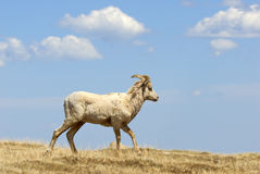 Rocky Mountain Big Horn Sheep Royalty Free Stock Images