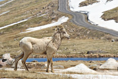 Rocky Mountain Big Horn Sheep Stock Photography