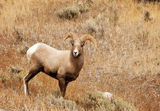 Rocky Mountain Big Horn Sheep Royalty Free Stock Photo