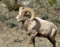 Rocky Mountain Big Horn Sheep/Ram. Big horn ram with almost a full curl. Picture was taken in Yellowstone National Park near Tower Falls Royalty Free Stock Photo