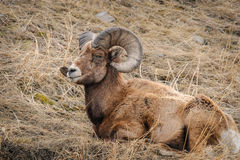 Rocky Mountain Big Horned Sheep Arkivbilder