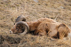 Rocky Mountain Big Horned Sheep fotos de archivo