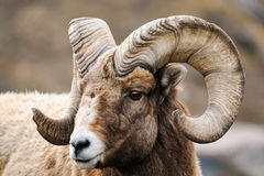 Rocky Mountain Big Horned Sheep Arkivbild