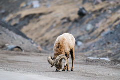 Rocky Mountain Big Horned Sheep image stock