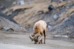 Rocky Mountain Big Horned Sheep Fotografering för Bildbyråer