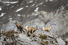 Rocky Mountain Big Horned Sheep photo libre de droits