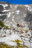 Rocky Mountain Big Horned Sheep photos libres de droits