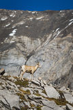 Rocky Mountain Big Horned Sheep image libre de droits
