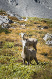 Rocky Mountain Big Horned Sheep images libres de droits