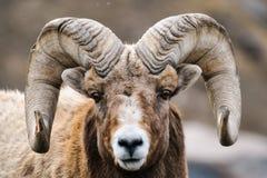 Rocky Mountain Big Horned Sheep. In springtime, Alberta Canada stock photo