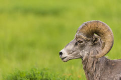 Rocky Mountain Big Horned Sheep Stock Photography