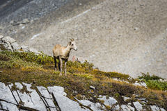 Rocky Mountain Big Horned Sheep Royalty Free Stock Photos