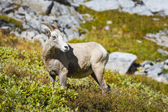 Rocky Mountain Big Horned Sheep Stock Image