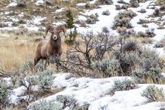 Rocky Mountain Bighorn Imagenes de archivo