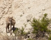 Rocky mountain bighorn lamb royalty free stock photo