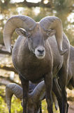 Rocky Mountain Bighorn Ram Portrait Stock Image