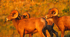 Rocky Mountain Bighorn Rams bathed in the Magic Light of the set Stock Photo