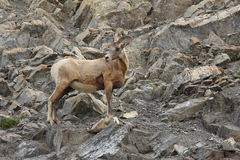 Rocky Mountain Bighorn Sheep Stock Image