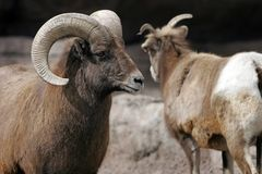 Rocky Mountain Bighorn Sheep. Close-up of Rocky Mountain Bighorn Sheep in large zoo, captive setting (adult Ram on left, shallow focus stock photography