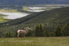 Rocky Mountain Bighorn Sheep - Banff National Park Royalty Free Stock Photography