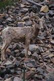 Rocky Mountain Bighorn Sheep, canadensis Fotografia Stock Libera da Diritti