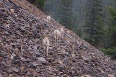 Rocky Mountain Bighorn Sheep, canadensis Photos libres de droits