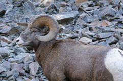 Rocky Mountain Bighorn Sheep, canadensis Immagini Stock