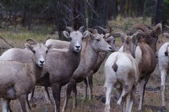 Rocky Mountain Bighorn Sheep canadensis Royaltyfri Fotografi