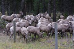 Rocky Mountain Bighorn Sheep, canadensis Images stock