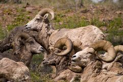 Rocky Mountain Bighorn Sheep canadensis Arkivfoto